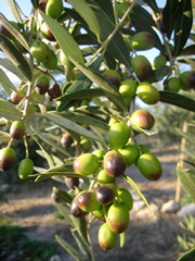 olives-closeup-sm